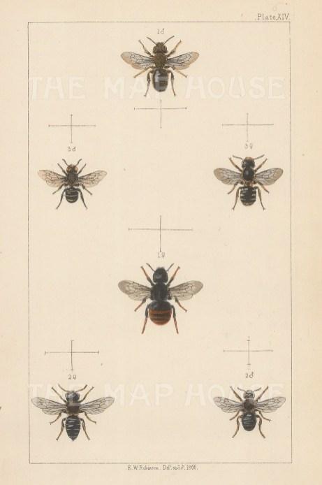 Mason bee (1. Osmia bicolor), Poppy bee ( 2. Anthocopa Papaveris), and Scissor bee (3. Osmia leucomelana).