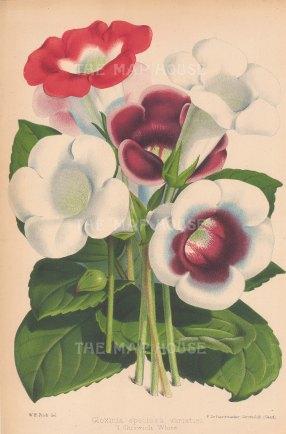 Gloxinia Speciosa Varieties. Chiswick White.
