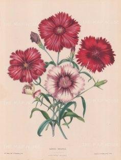 Dianthus heddewigh: Red and white minstrels.