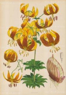 """Fitch: Lily. c1880. An original hand coloured antique lithograph. 14"""" x 20"""". [FLORAp2739]"""