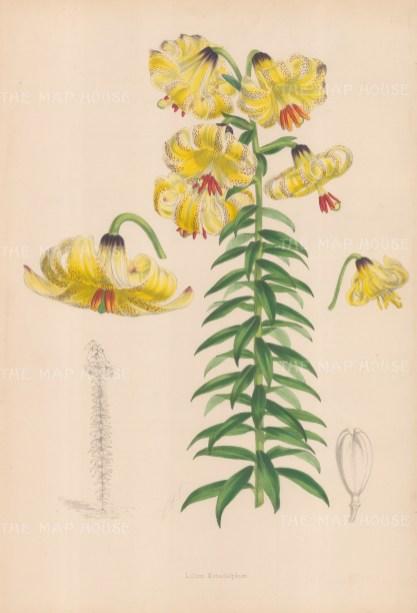 Lilium monadephum.