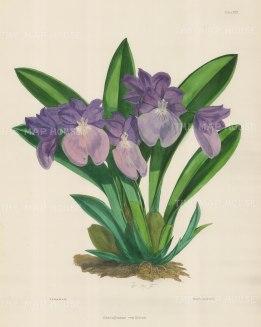 Orchid: Odontoglossum Vexillarium. The Flag-Like Miltoniopsis.