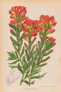 "Fitch: Castilleja indivisa. 1884. An original antique chromolithograph. 7"" x 10"". [FLORAp2968]"