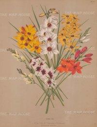 Ixia Hybrid: African cornflower in a bunch.