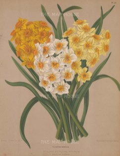 "Van Eeden: Narcissus. c1872. An original antique chromolithograph. 10"" x 13"". [FLORAp3039]"