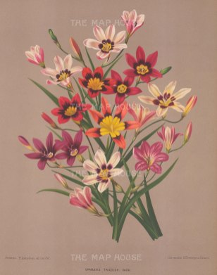 "Van Eeden: Harlequin Flower. c1872. An original antique chromolithograph. 10"" x 13"". [FLORAp3042]"
