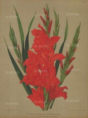 Gladiolus gandavensis var brenchleyensis.