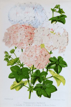 "Fitch: Geraniums. 1884. An original antique chromolithograph. 7"" x 10"". [FLORAp3150]"