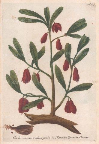 "Weinmann: Cardamon. 1735. An original hand coloured antique mezzotint. 9"" x 14"". [FLORAp3166]"