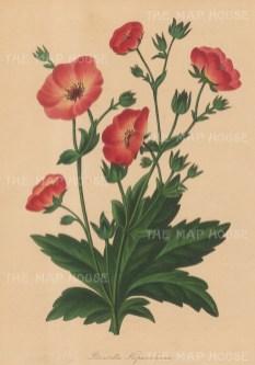 """Paxton: Cinquefoil. 1839. An original hand coloured antique lithograph. 6"""" x 9"""". [FLORAp3197]"""