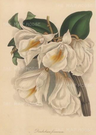 Giant-flowered dendrobium. Dendrobium formosum.