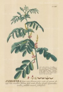 Indigofera (Indigo): With detail of flower and key in Latin. Title heightened in gold.