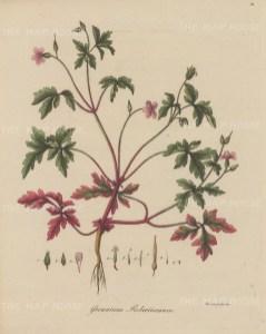 "Dreves: Herb Robert. 1795. An original hand coloured antique copper engraving. 8"" x 10"". [FLORAp3213]"