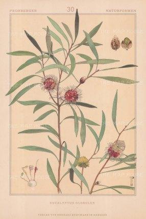 "Vellmer: Eucalyptus. c1890. An original antique chromolithograph. 14"" x 20"". [FLORAp3254]"