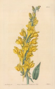 Dalmatian Toadflax. By Miss Drake.