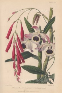 Orchid: Debrobium nobile and Thyrsacanthus Schomburgkianus. After Augusta Withers.