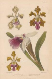 Vanda tricolor var., Vanda tricolor formosa, Vanda insignis Helveola and Mitonia spectabilis. After Augusta Withers.