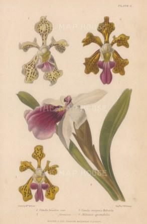 Orchid: Vanda tricolor var., Vanda tricolor formosa, Vanda insignis Helveola and Mitonia spectabilis. After Augusta Withers.