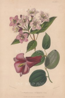 Lapageria rosea and Weigela rosea. After Augusta Withers.