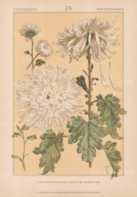 "Vellmer: Chrysanthemum. c1890. An original antique chromolithograph. 14"" x 20"". [FLORAp3304]"