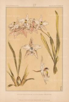 """Vellmer: Orchid. c1890. An original colour antique chromolithograph. 14"""" x 20"""". [FLORAp3305]"""