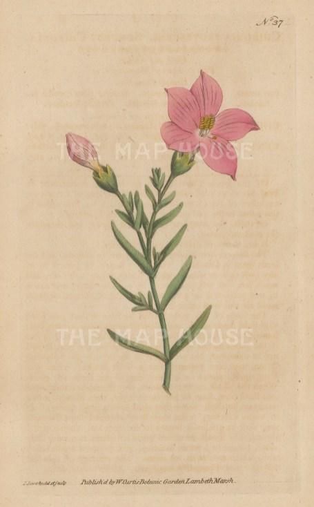 "Curtis: Shrubby Chironia. 1795. An original hand coloured antique copper engraving. 5"" x 8"". [FLORAp3314]"