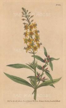 Lysimachia Bulbifera: Bulb-Bearing Loosestrife.