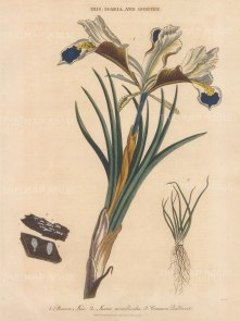 """Wilkes: Persian Iris with quillwort and Isaria monilioides funghi. 1812. An original hand coloured antique copper engraving. 8"""" x 11"""". [FLORAp3331]"""