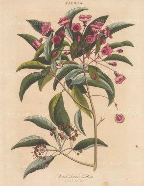 "Wilkes: Broad leaved Kalmia (Mountain Laurel). 1810. An original hand coloured antique copper engraving. 8"" x 11"". [FLORAp3333]"