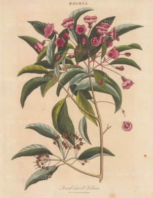"Wilkes: Broad leaved Kalmia (Mountain Laurel). 1810. An original hand coloured antique copper engraving. 8"" x 11"". [FLORAp3333]"