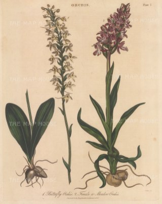 """Wilkes: Butterfly Orchid and Meadow Orchid. 1810. An original hand coloured antique copper engraving. 8"""" x 11"""". [FLORAp3334]"""