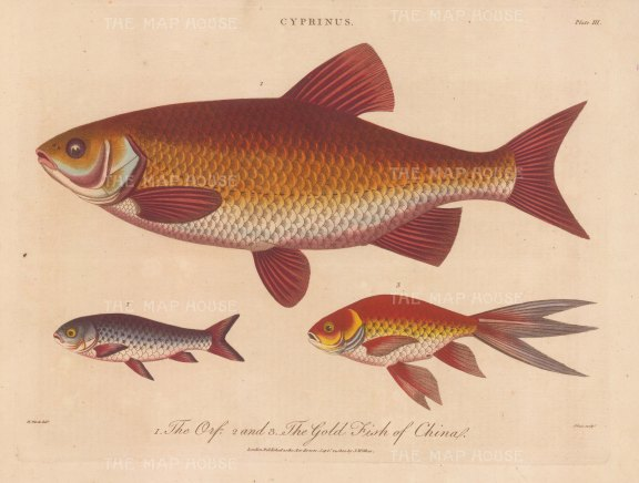 Orte (Cyprinus): Orte and Gold Orte ornamental fish. After Marcus Bloch. Engraved by John Pass.