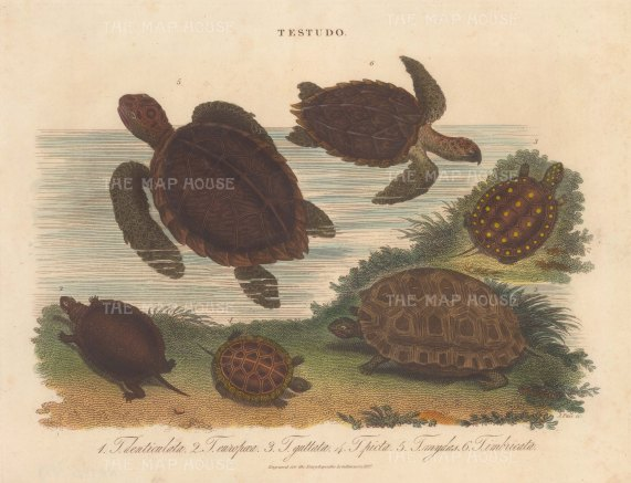 Sea Turtles: Hawksbill 5 and Green Sea Turtle 6. with Yellow footed Tortoise 1, European Tortoise 2, Spotted Turtle 3, Painted Turtle 4. Engraved by John Pass.