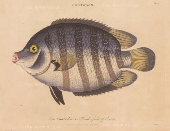 Butterfly Fish (Chaetodon): The Chetodon of Surat. After Marcus Bloch. Engraved by James Pass.