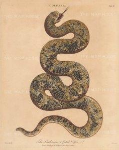 Viper (Coluber): Bushmaster Pit Viper (Lachesis). After Albertus Seba. Engraved by John Pass.