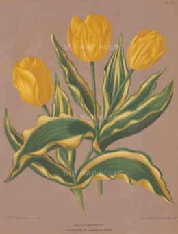 Single Early Tulip. Yellow Prince with variegated foliage.