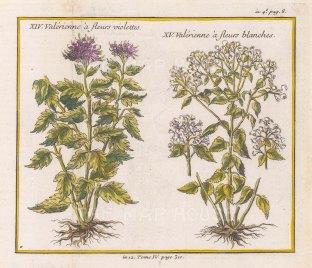 Purple and White Valerian.