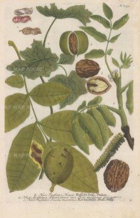"Weinmann: Walnuts. c1740. A hand coloured original antique copper engraving. 9"" x 14"". [NATHISp5303]"