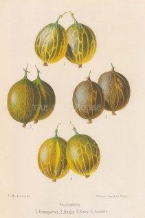"Fitch: Gooseberries. 1884. An original antique chromolithograph. 7"" x 10"". [NATHISp5782]"