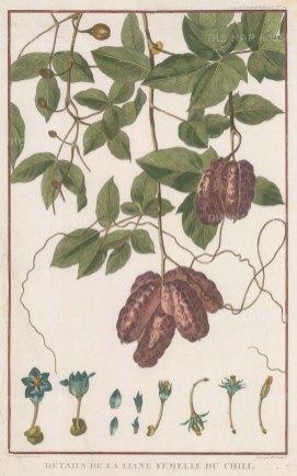 """de la Perouse: Chilli plant. 1797. A hand coloured original antique copper engraving. 10"""" x 17"""". [NATHISp5830]"""