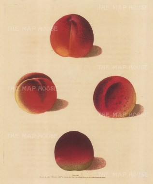 "Brookshaw: Peaches. 1817. An original colour antique mixed method engraving. 8"" x 11"". [NATHISp5897]"