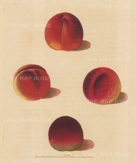 "Brookshaw: Peaches. 1817. An original colour antique mixed method engraving. 8"" x 11"". [NATHISp5897]"