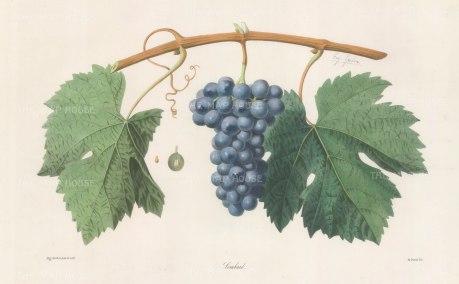Lombard (Enfarine Noir) grape from Jura.
