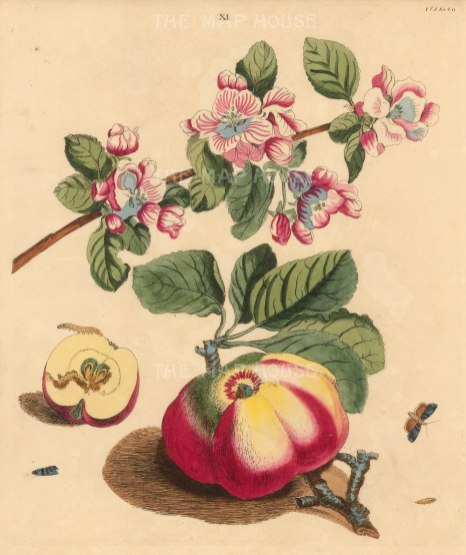 Apple:Codling Apple, pyrus malus and a Codling moth, phalena pomonella.