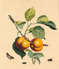 "Wilkes: Apricot. 1773. An original colour antique copper engraving. 10"" x 12"". [NATHISp7213]"