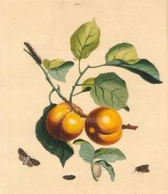 """Wilkes: Apricot. 1773. An original colour antique copper engraving. 10"""" x 12"""". [NATHISp7213]"""