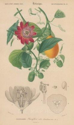 "d'Orbigny: Passionfruit. 1849. An original hand coloured antique lithograph. 6"" x 9"". [NATHISp7365]"