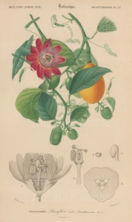 "d'Orbigny: Passionfruit. 1849. An original hand coloured antique lithograph. 6"" x 9"". [NATHISp7365]"