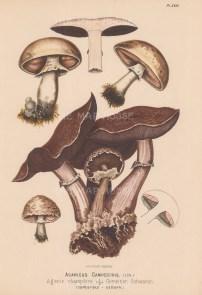 Agaricus Campestris (Field mushroom). Edible.