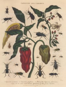 Sweet and Bell peppers (Capsicum annuum and grossum. With 19 specimens of Carabus beetles.